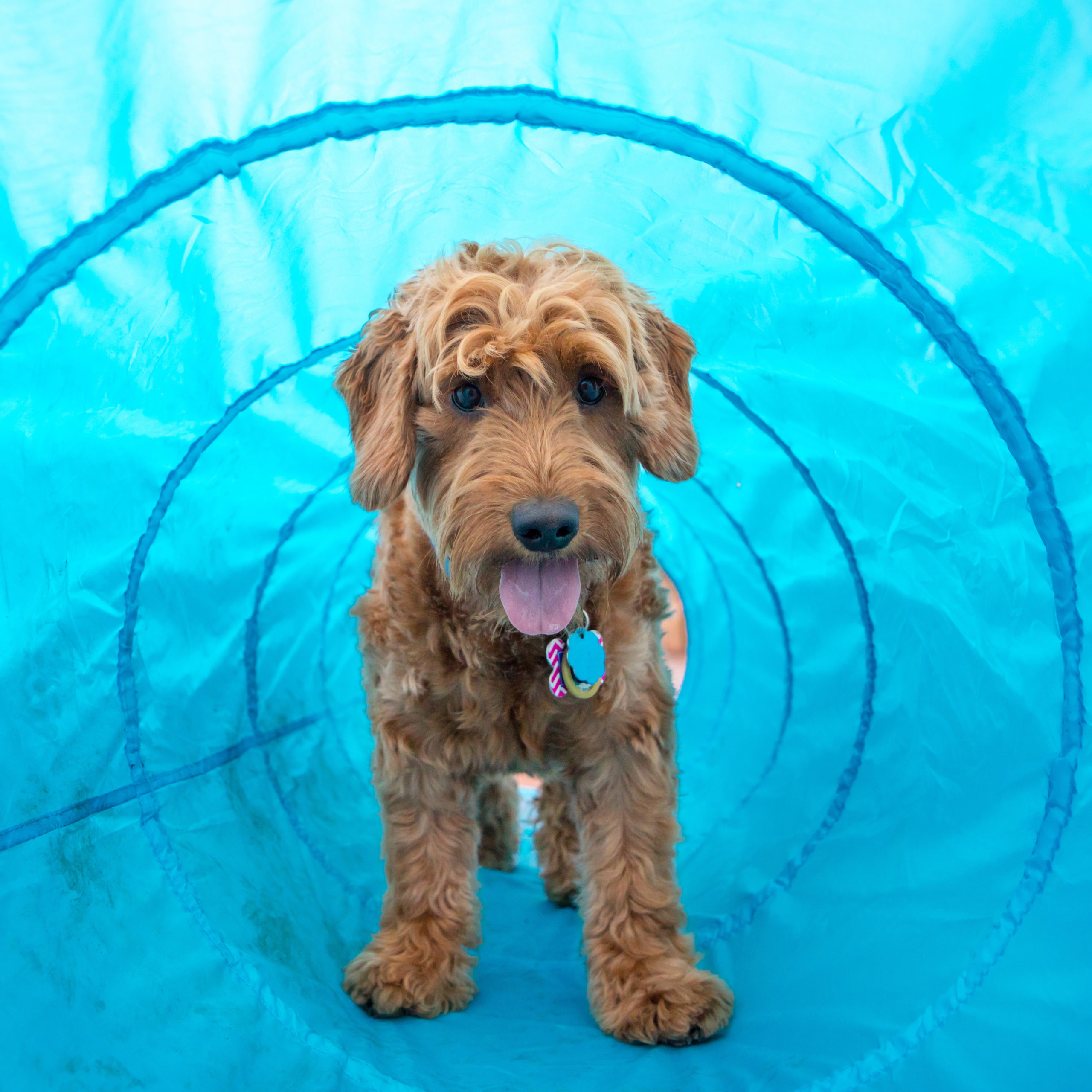 Mini golden doodle in open tunnel agility course