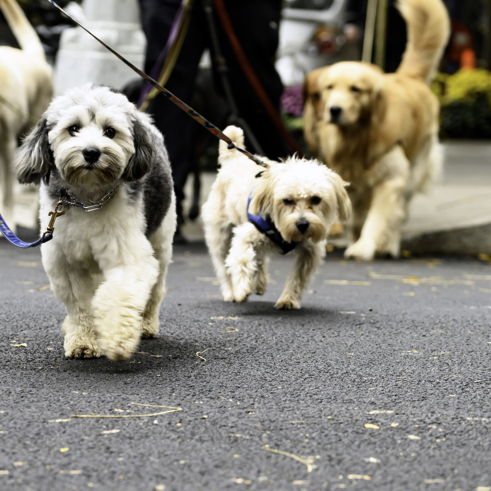 Dog Group Crossing City Street